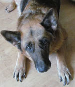 Harry Neglected Older GSD