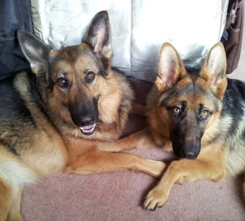 heidi the gsd with her foster friend maya