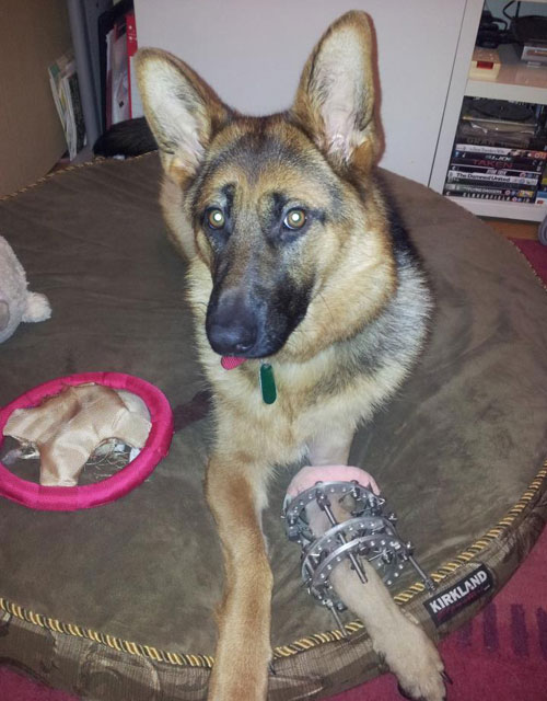 heidi the gsd resting after her operation