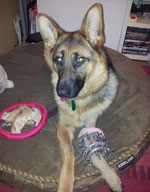 Heidi GSD With Growth Plate Deformity