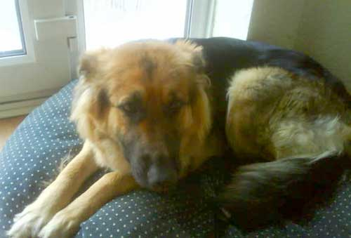 honey young female gsd
