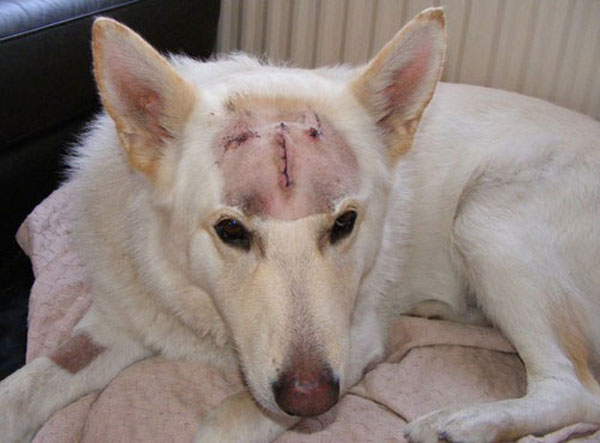 ice the white german shepherd with his head shaved