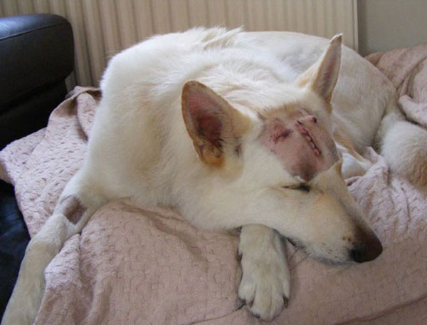 ice the white gsd after surgery for aspergillosis