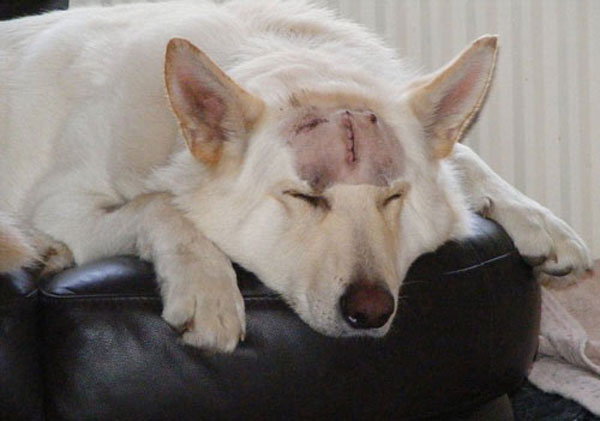ice the white gsd sleeping after his big operation