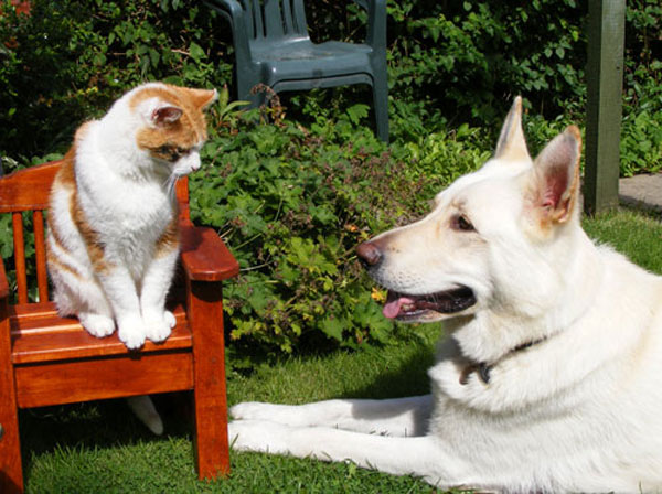 ice the white gsd and the cat