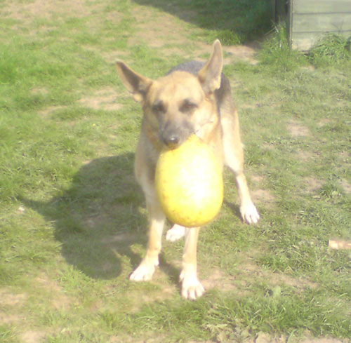 izzy with the big yellow ball in her mouth