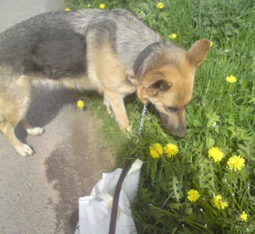 izzy the gsd helping pick dandelions