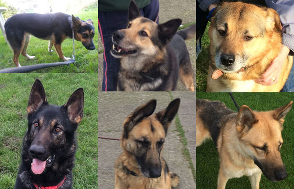 german shepherds in kennels waiting for their forever homes