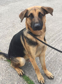 jerad beautiful young gsd that has been in rescue most of his short life