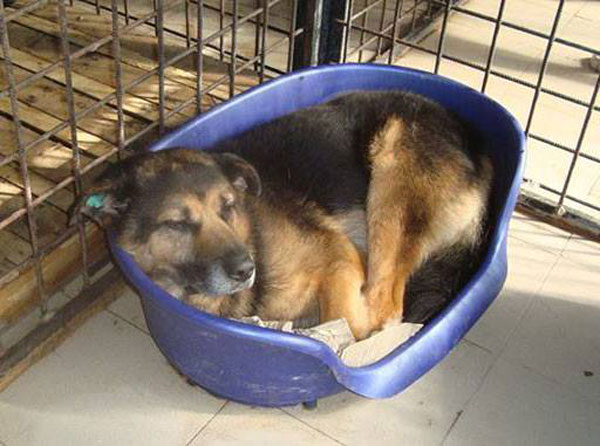 jethro gsd in his 1 metre square prison in a public shelter in Romania