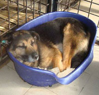 JETHRO - OLDER GSD RESCUED FROM HELL!