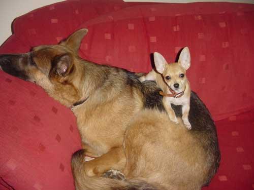 Health In The German Shepherd Dog