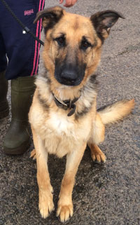 juno gsd in kennels over a year