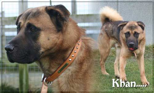 khan young gsd akita cross