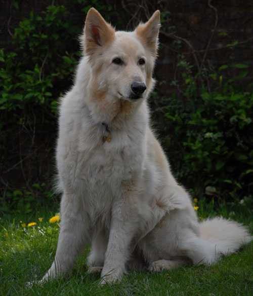 odin the large white german shepherd