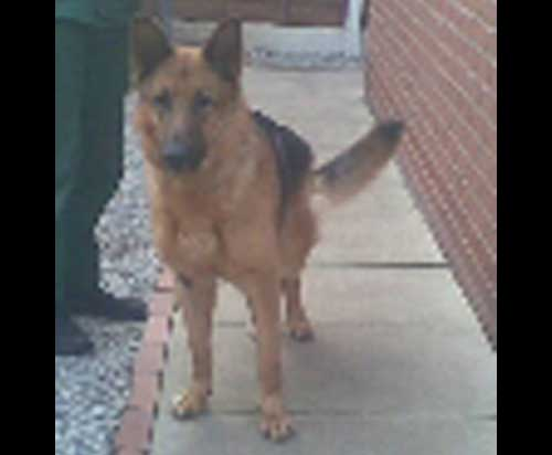 levi the gsd at risk