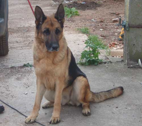 lizzie the german shepherd