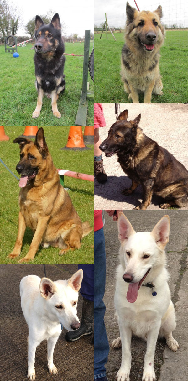german shepherds in kennels over 6 mths