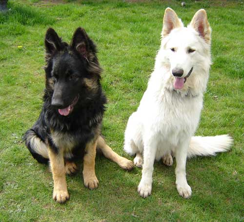 two lost german shepherds