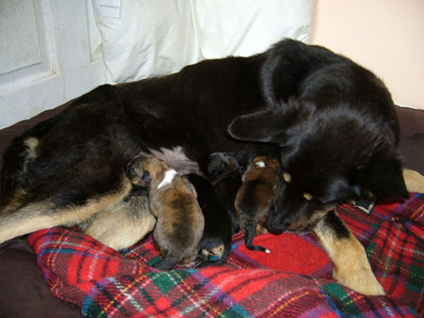 lottie the german shepherd with her new born puppies
