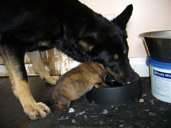 lottie and one of her puppies eating from the same bowl