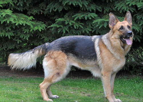 Lulu - stunning looking German Shepherd