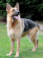 lulu beautiful german shepherd needs a home