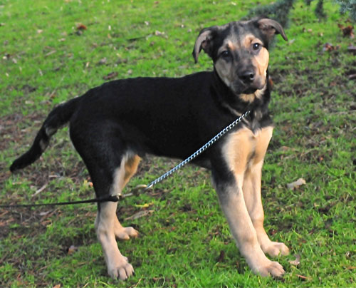 More German Shepherd Puppies And Dogs That Have Found New