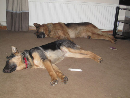 Karla and Scooby the gsd's in the down stay