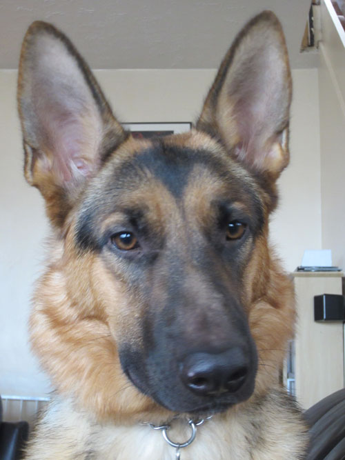 gorgeous young gsd karla