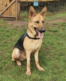 Youn GSD Marley urgently needs a home