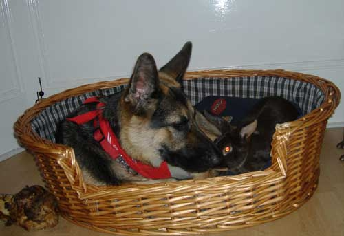 German Shepherd Dog Pictures Photographs And Images