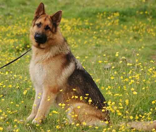 max lovely 3 year old gsd