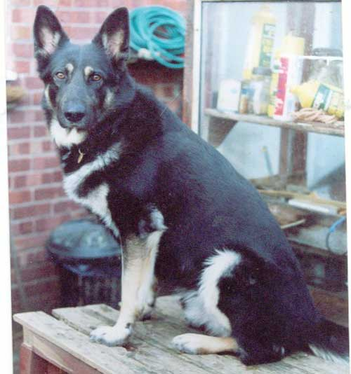 Max the gsd whose owner has died