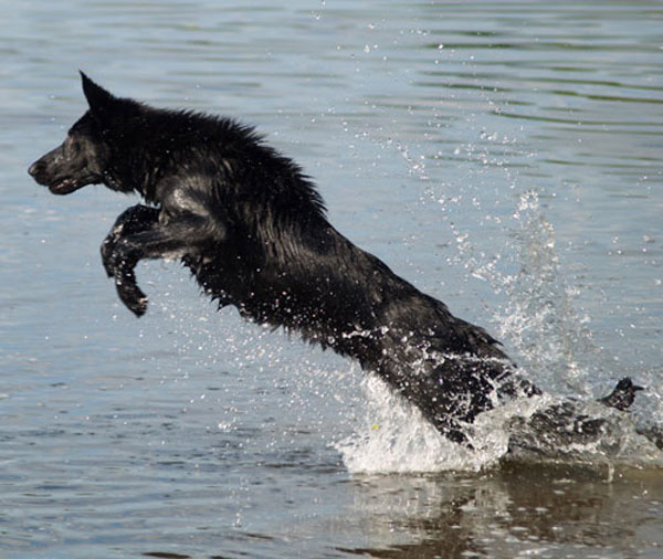 milly the black german shepherd diving into water