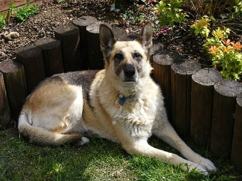 minnie older german shepherd looking for a home