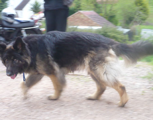 mitzy lomnh haired gsd