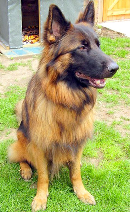 German Shepherds For Rehoming In The South East