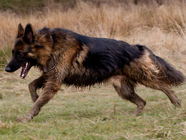 a wet and muddy geman shepherd running