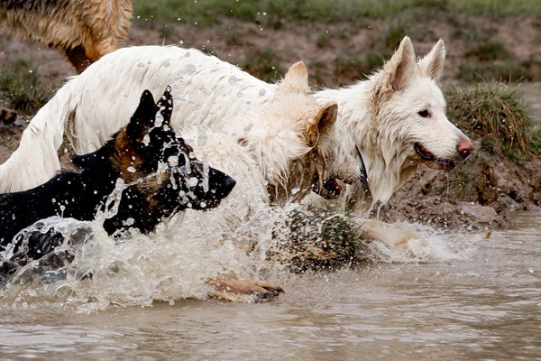 two white german shepherds and a black and tan, splashing in a pond
