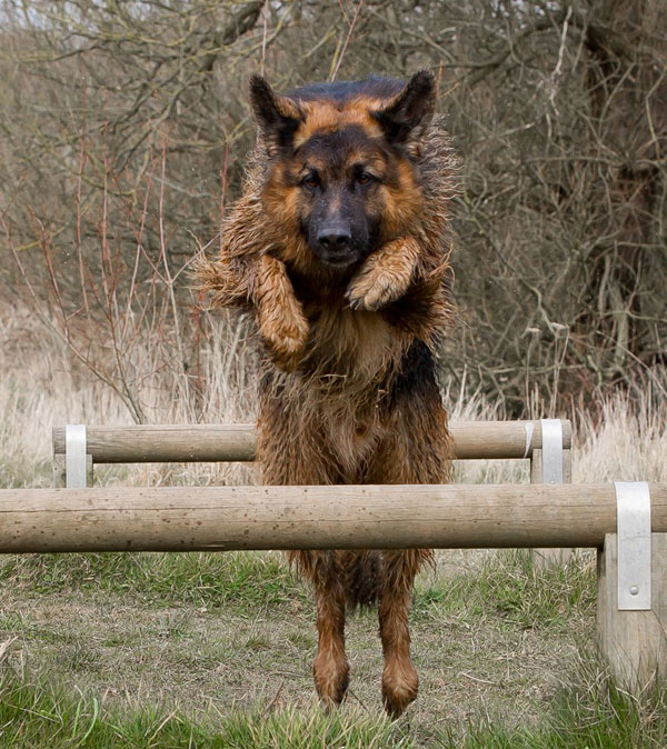 german shepherd jumping over the bar