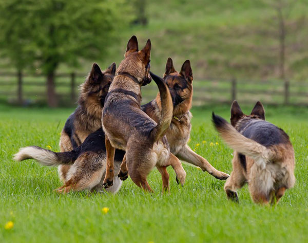 group of german shepherds playing
