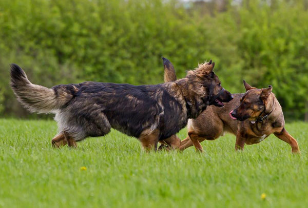 two german shepherds playing