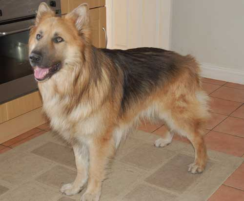 pompey beautiful big long coat gsd