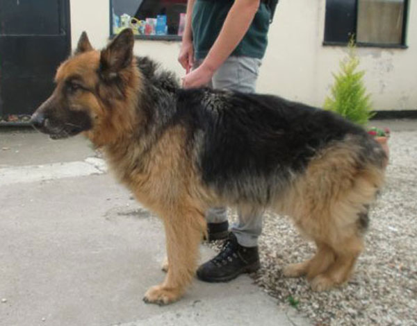 razz gsd abandoned at the pound
