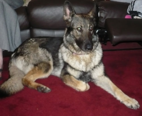 rosie sable coat gsd
