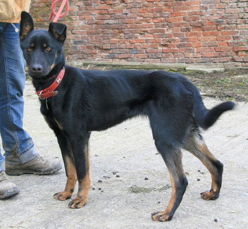 roxy gsd cross