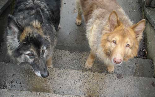sasha and spike the gsd's