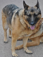 Very Overweight GSD Sha Needed A Home