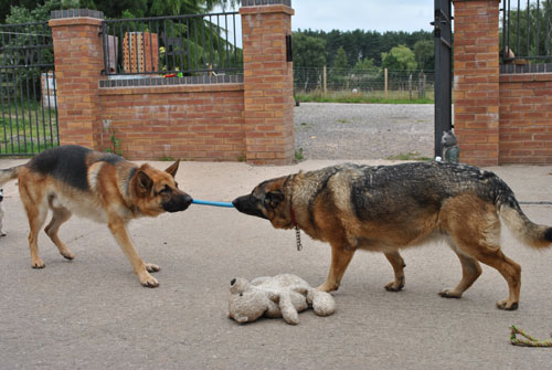two gsd's playing tug of war